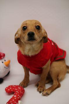Chiweenie dog for Adoption in Phoenix , AZ. ADN-745476 on PuppyFinder.com Gender: Male. Age: Young