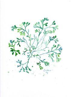 Algue verte   Reproduction  Illustration aquarelle par SandraOvono