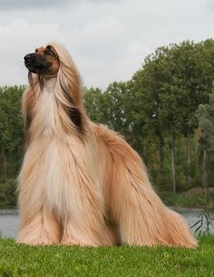 """Afghan Hound -  If you don't have a daughter. You can practice """"Brushing Hair"""", every day with these Beauties!"""