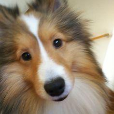 「instagram sheltie」の画像検索結果 #shetlandsheepdogpuppy