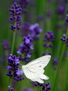 In the lavender fields - lavender garden Lavender Blue, Lavender Fields, Lavender Flowers, Purple Flowers, Lavender Cottage, Provence, Beautiful Butterflies, Beautiful Flowers, White Butterfly