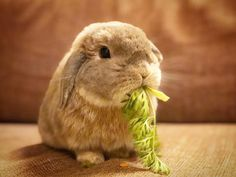 ﹡ちんまり( ˙◊︎˙◞︎)◞︎❤︎ #ホーランドロップ #うさぎ #ウサギ #兎 #hollandlop #bunny #rabbit #lapin #ふわもこ部 #うさぎ部 #愛兎 #iPhone8Plus #iPhoneXじゃない #一眼いらんやん