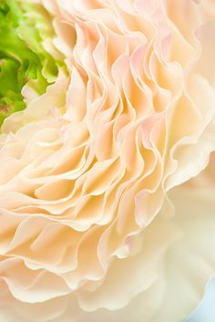 Ranunculus by mellow_stuff via Flickr