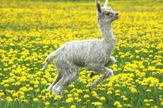 A young Alpaca leaping and playing in a field of spring flowers. Alpacas, Livestock, Spring Flowers, Sheep, Friends, Animales, Camels, Amigos, Boyfriends