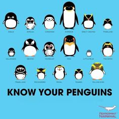 World Penguin Day! ; ) Know your penguins poster by Peppermint Narwhal • in order of appearance, L to R, down: 1.Adele 2.African  3.Chinstrap  4.Emperor  5.Erect-Crested  6.Fiordland  7.Galapagos  8.Gentoo  9.Humboldt  10.King  11.Little Blue  12.Macaroni  13.Magellanic  14.Royal  15.Snares  16.Yellow-eyed