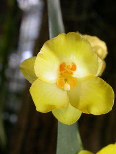 Macro of Lockhartia obtusata