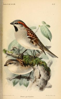 Passer pyrrhonotus (Sind Sparrow). Illustration taken from 'Catalogue of Passeriformes in the British Museum' by R. Bowdler Sharpe. British Museum (Natural History). Department of Zoology. Published 1888. Natural History Museum Library,...