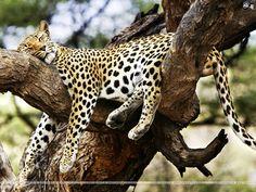 Leopards 1024x768 Wallpaper # 2