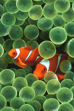 Clown Fish. Diet: Carnivore, Average life span in the wild: 6 to 10 years