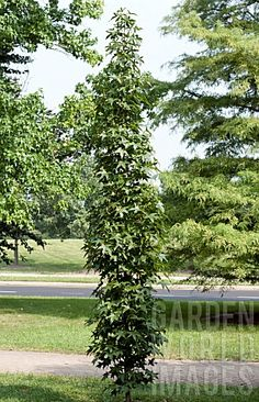 Shawnee brave bald cypress tree google search columnar for Trees for tight spaces