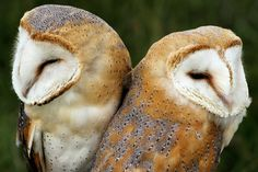 Baby barn owls count | Behaving Animals