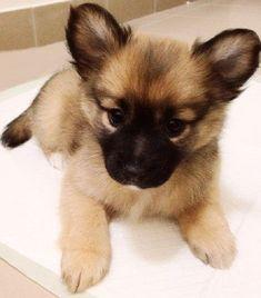 pomeranian pug mix puppies for sale | Zoe Fans Blog-- Sash, check out this pugeranian!