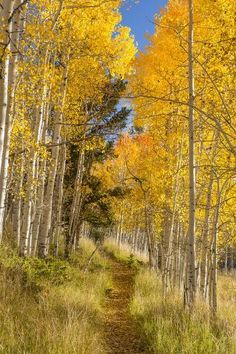 Trail in an aspen forest (no location given) [photographer unknown] cr. Forest Path, Forest Trail, Autumn Scenes, Single Tree, Aspen Trees, Outdoor Landscaping, Hydrangea Landscaping, Landscaping Design, Landscape Lighting