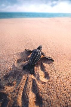 Remember the most difficult roads often lead to the most beautiful destinations. {Zig Ziglar} Stunning photo of a leatherback hatchling taken in Puerto Escondido Oaxaca Mexico by Save The Sea Turtles, Baby Sea Turtles, Cute Turtles, Marinha Wallpaper, Cute Baby Animals, Animals And Pets, Animals Sea, Beautiful Creatures, Animals Beautiful