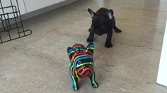 """Charlie the French Bulldog seems to be a bit confused as to why his """"friend"""" won't respond to him. Now that is an adorable moment! Credit to 'charliethefrenchie'."""
