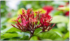 Closeup of Beautiful Red Ixora Coccinea flower!
