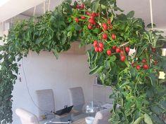 My indoor tomato