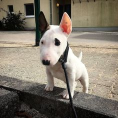 Mini Bull Terriers, Miniature Bull Terrier, English Bull Terriers, Bull Terrier Dog, Welsh Terrier, Boston Terrier, Perros Rat Terrier, Yorkie Terrier, Terrier Mix