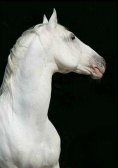 Lipizzaner stallion portrait. photo: Ilona Kirsch. Horse Hay, Horse Love, Most Beautiful Animals, Beautiful Horses, Lippizaner, Lipizzan, All The Pretty Horses, Mundo Animal, White Horses
