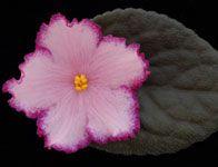 African Violets - Standard List Austin's smile
