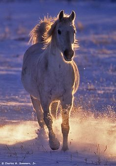 Arabian Horse running in the water. Sunset casting glowing light over the horse and the water he is kicking up, splashing in beautiful mist. Spectacular horse photography!