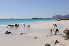 Oman - camels on the beach #Oman