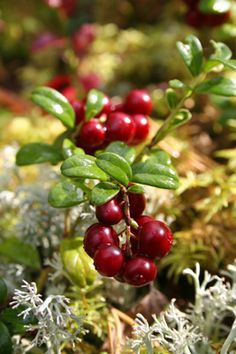 Using ericaceous beds for berry plants from the article Make an Ericaceous Soil Bed for Acid-loving fruits by growveg.com