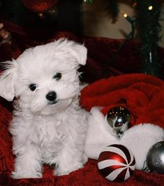 Available Baby Maltese Puppies For Adoption, Cheap Maltese Puppies Maltese Poodle For Sale, Baby Maltese, Maltipoo Puppies For Sale, Teacup Puppies For Sale, Mini Maltese, Maltese Dogs, Teacup Maltipoo For Sale, Teacup Maltese Puppies, Cavachon Puppies