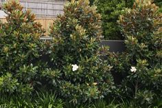 /\ /\ . Magnolia Grandiflora 'Little Gem' or 'Teddy Bear' dwarf varieties make beautiful evergreen hedges. Height: 20-25' but can be kept 13'. Width: 10-15'. Plant 4' apart. During early years, tip prune new growth by half all around individual trees for good structure and dense form in maturity. Once each plant is thick, prune the face and top of hedge as wide or tall as you like, perhaps 2.5' wide by 13' tall. Round the top.