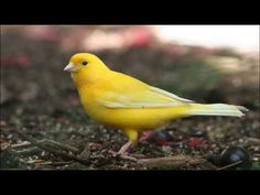 Canaries are cheerful and active little birds so the first sign that a bird is unwell is a change in that behaviour. If you see a canary fluffed up . All About Animals, Animals And Pets, Cute Animals, Canary Birds, Different Birds, The Secret Book, Colorful Birds, Yellow Birds, Backyard Birds