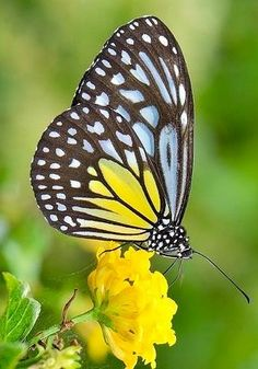 Yellow Glassy Tiger Butterfly via Bird's Eye View at www.Facebook.com/aBirdsEyeViewForYou