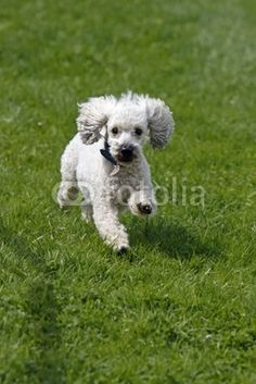 Weisser Pudel bei einem Hunderennen