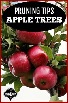 these secrets to pruning apple trees for healthy, productive trees. Fruit Plants, Fruit Garden, Garden Trees, Edible Garden, Growing Apple Trees, Apple Tree Care, Espalier Fruit Trees, Tree Pruning, Home Vegetable Garden