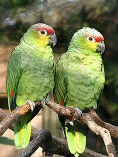 papagaios  ( Parrots) -  Amazon forest - Brazil
