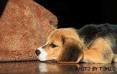 Beagle pup Raku Chan♪