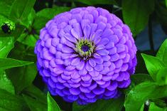 Zinnia - Violet Giant Dahlia Flowered | LifeSeedCompany.com