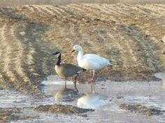 Mated Pair A Snow Goose and Canada Goose Strutted around Creamer's Field.