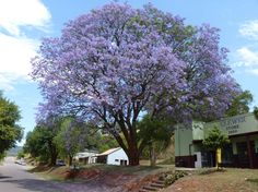 Jacaranda tree, blossom (Oct - Nov)