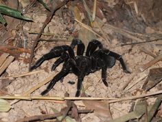 """The tarantella is named after the tarantula. When Nora can't dance, this symbolizes a """"bite"""" in their marriage."""