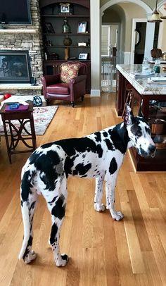 Otis the Harlequin Great Dane - 6 months old. <3 #greatdanepuppy