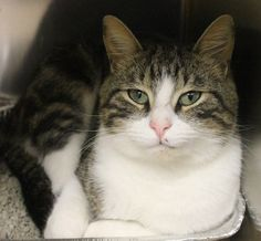 ADOPTED>Intake: 11/19 Available: 11/25 NAME: Monty  ANIMAL ID: 26871808 BREED: DSH  SEX: Neutered Male  EST. AGE: 1 yr  Est Weight: 8.14 lbs  Health:  Temperament: Friendly  ADDITIONAL INFO:  RESCUE PULL FEE: $39