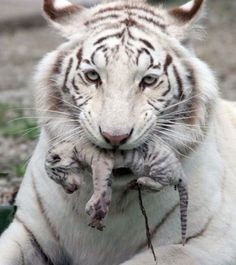 A female white albino tiger, Tigrylia is seen with her newborn cub at the Skazka Zoo in Yalta, Ukraine. Tiger gave birth to four cubs, including a rare albino tiger on May (AP Photo/Skazka Zoo) Beautiful Cats, Animals Beautiful, Beautiful Moments, Cute Baby Animals, Animals And Pets, Wild Animals, Newborn Animals, Big Cats, Cats And Kittens