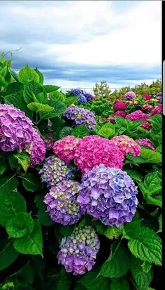 Flowers Nature, Exotic Flowers, Amazing Flowers, Beautiful Flowers, Hydrangea Garden, Hydrangea Flower, Beautiful Landscapes, Beautiful Gardens, Blossom Garden