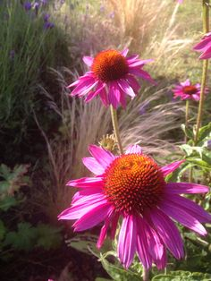 Echinacea in the ear