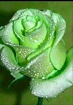 Beautiful Flowers Wallpapers, Beautiful Rose Flowers, Flowers Nature, Exotic Flowers, Green Flowers, Amazing Flowers, Pretty Flowers, Beautiful Wallpaper, Art Flowers