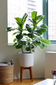 room decor apartment A Tour of Our NYC Apartment: Dining Area + Living Room Fiddle Leaf Fig Tree in a West Elm White Indoor Planter Living Room Plants, House Plants Decor, Plant Decor, Living Room Decor, Apartment Plants, Apartment Living, Apartment Therapy, Apartment Gardening, Indoor Planters