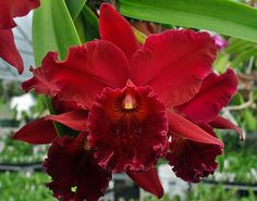 Red Orchids, Red Flowers, Beautiful Flowers, Flora, All About Plants, Australian Native Flowers, Cattleya Orchid, Sangria, Wonders Of The World