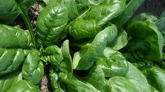 Cultivar espinacas en huerto en casa l EcoHortum