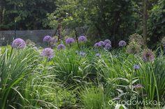 czosnki z irysami trawolistnymi / do tego  z chabry różne trawy szałwia, jezówki