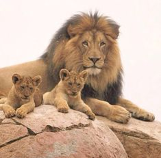 The tears of a lion. Cecil the Lion with cubs.